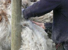 shearing llama, how to clean llama fleece, llama fibre
