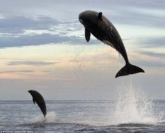 Dramática: ballena Este asesino fue fotografiada atacar a un delfín nariz de botella en la costa mexicana