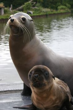Baby Pictures of New Arrivals at Longleat Safari Park: Sea Lion and Her Pup at Longleat Safari Park