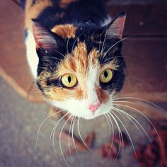 Calico Cat Photography Orange Black Cat Yellow Eyes by redlemonjam