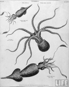 octopus squid illustration