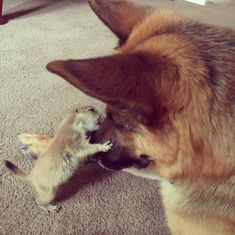 A Prairie Dog And German Shepherd Meet, Never Leave Each Other's Side