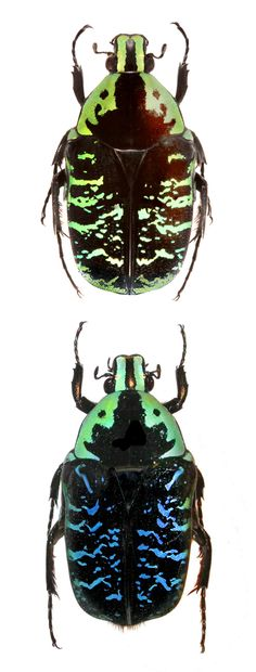 Euchroea coelestis. Green and blue forms