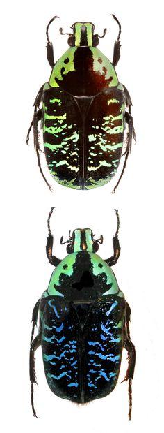 Euchroea coelestis. Green and blue forms