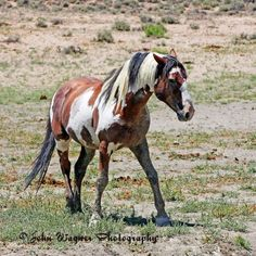 Picasso, Sand Wash Basin's stallion. Photo by John Wagner