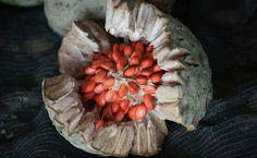Baguaçu (Orbignya phalerata, Arecaceae)