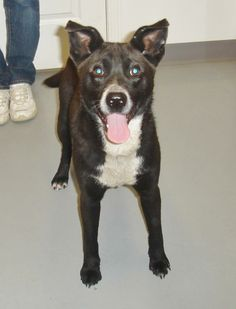 NO LONGER LISTED - #KENTUCKY #U ~ Keegan is a Border Collie / Australian Cattle Dog mix picked up stray - a little shy at 1st tho warms up & seems to be a sweet boy who's in need of a loving #adopter / #rescue at OHIO COUNTY ANIMAL SHELTER 1802 Country Club Lane #Hartford KY 42347 Ph 270-298-4499