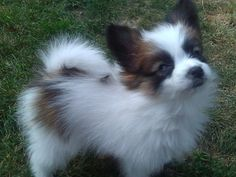 Kitty, the papillon, as a puppy. Her first time in the garden after we brought her home.