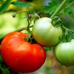 Growing+tomatoes+from+cuttings+is+an+effective+way+to+extend+your+garden+without+having+to+purchase+store+bought+plants.+They+are+often+rooted...