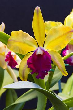 Yellow pink orchids by @Laila Christiansen García Photography