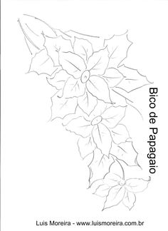 bico de papagaio.jpg (1700×2338) - Poinsettia