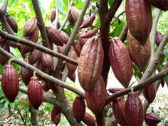 Budidaya Kakao: Bahan Baku Cokelat Yang Bisa Dipanen Setiap Hari Exotic Fruit, Fruit And Veg, Eggplant, Bonsai, Nasa, Carrots, Food And Drink, Vegetables, Amazing