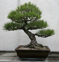 The Japanese Black Pine is a native of Japan. One of the most basic trees for bonsai, a very popular specimen. Pine Bonsai, Bonsai Art, Bonsai Garden, Small Plants, Small Trees, How To Grow Bonsai, Birch Tree Decor, Dwarf Trees, Japanese Tree