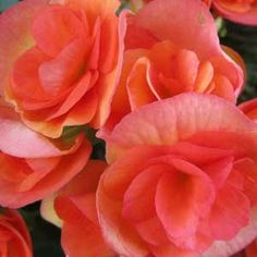 Begonia in shade garden Perennial Flowering Plants, Shade Garden Plants, Summer Plants, House Plants, Corner Flower Bed, Flower Beds, Begonia, Rosa China, Summer Blooming Flowers