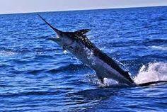 Resultado de imagen de black marlin fishing costa rica