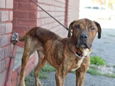 POOR POOR BOY!! PLEASE SAVE!! Brooklyn center SEYMOUR – A1090338  ***SAFER : EXPERIENCED HOME  / NO CHILDREN***  MALE, BR BRINDLE, AM PIT BULL TER MIX, 4 yrs STRAY – STRAY WAIT, NO HOLD Reason STRAY Intake condition UNSPECIFIE Intake Date 09/18/2016, From NY 11221, DueOut Date 09/21/2016