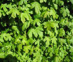 Field Maple / Veldesdoorn / Spaanse aak (Acer campestre)