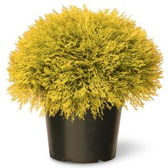 National Tree LCBG4-700-15-1 Golden Juniper Artificial Bush with Green Pot, 15' -- Click image for more details.