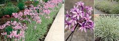 Plants Management Australia Pty Ltd Narrow Garden, Australian Plants, Late Autumn, Back Gardens, Salvia, Garden Beds, Garden Landscaping, Pink Flowers, South Africa
