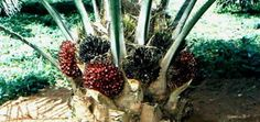 Starbucks Shifting to 100% Sustainable Palm Oil Sources by 2015 #green #sustainability #rmogreen