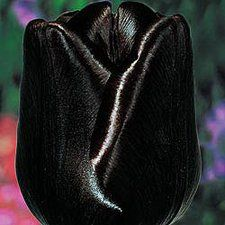 Tulip --Queen of the night--Rare, maroon-black flowers on stems provide sensational contrast in borders and arrangements. Longtime favourites in Holland, each of these spectacular tulip varieties Dark Flowers, Exotic Flowers, Amazing Flowers, Beautiful Flowers, Flowers Pics, Unique Flowers, Spring Blooms, Spring Flowers, Dutch Tulip