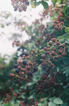 Such sweet memories--going berry-picking with my grandmother