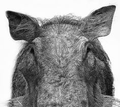 """""""Piggy Eyes"""" by John Griffin 