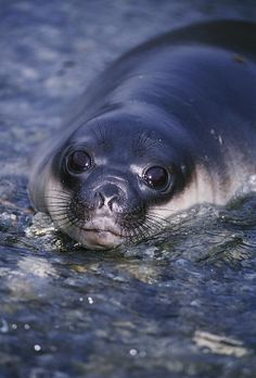 Southern Elephant Seal Pup