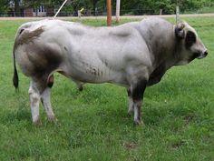 Piedmontese Cattle - Google Search