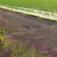#risaia #piantine #riso #passiu #agricolapassiu #lavanda #sardegna #oristano #country #fields #italy #rice #lavender