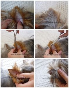 Facts About Your Yorkshire Terrier. Grooming Yorkies, Dog Grooming Styles, Dog Grooming Tips, Dog Grooming Business, Yorkie Puppy, Yorkshire Terrier Mini, Yorkshire Terrier Haircut, Mobile Pet Grooming, Yorkie Haircuts
