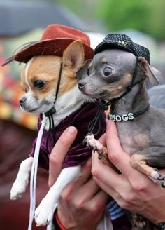 Adorabel Chihuahuas Taco and Belle #chihuahua