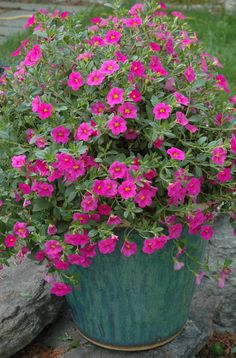 Classic Container Garden Pink calibrachoa contrasts nicely with the blue-green of this classic glazed pot.