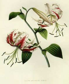 Lilium Lancifolium Rubrum Prestele Botanical Illustration  William Henry Prestele was born in Hesse-Darmstadt, Germany, to Franz Joseph Martin Prestele (also a painter and lithographer of flowers and fruits) and Karoline Russ and raised in the Amana Colonies in Iowa.