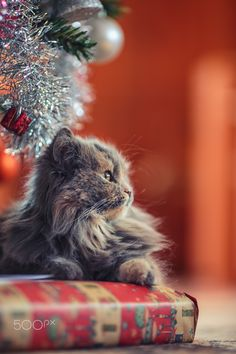 Waiting Santa Claus concept. Cute cat laying over christmas pres - Cute kitten laying under the christmas tree