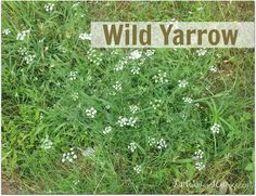 All About Yarrow - Bulk Herb Store Blog (we have this volunteering all over the yard!)