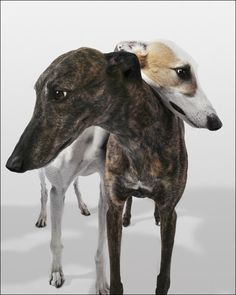 Greyhounds are the fastest dogs on earth, with speeds of up to 45 miles per hour.