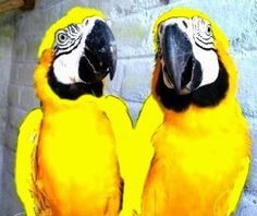 Yellow And Blue Macaws For Sale 25