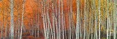 peter lik birch trees - Google Search
