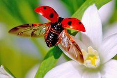 Lieveheersbeestjes hebben iets schattigs. Maar als je ziet hoe deze dieren met hun opvouwbare vleugels kunnen opstijgen sluit je ze voor altijd in je hart. Deze slow-motion-video laat zien hoe bijzonder hun vleugels zijn. Kijk maar.