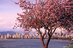 cherry blossoms photos | Vancouver-Canada-cherry-blossoms-various-cities-world-7-beautiful ...