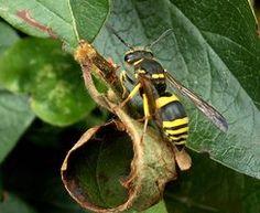 Trampas caseras para abejas y avispas
