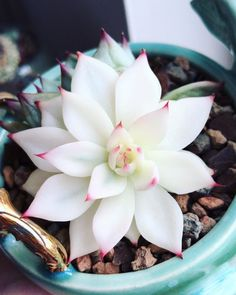 succulent garden care 60 Beautiful Succulent Ideas For Summer Succulent Plants succulentsssss % Albino babe Succulent Gardening, Cacti And Succulents, Planting Succulents, Planting Flowers, Succulent Ideas, Pink Succulent, Propagating Succulents, Succulents Wallpaper, Succulent Outdoor