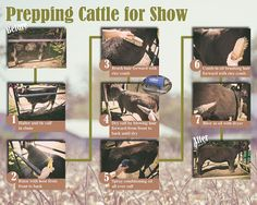 Show cattle prep how to. Livestock Judging, Showing Livestock, Showing Cattle, Cattle Farming, Pig Farming, Show Cattle Barn, Cow Tipping, Show Steers, Show Cows