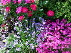 Licerne Blue-Eyed-grass with dianthus & knockout rose