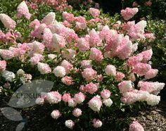 1000 images about hortensje on pinterest hydrangea paniculata hydrangea arborescens. Black Bedroom Furniture Sets. Home Design Ideas