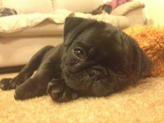 cute little baby pug