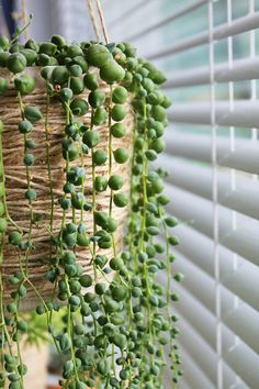 Green string of pearls plant trailing down the side of a light brown wicker hanging planter, next to a window covered with white venetian blinds. Purple Succulents, Hanging Succulents, Hanging Plants, Succulents Garden, Indoor Plants, Indoor Succulent Planter, Succulent Terrarium, Succulent Centerpieces, Succulent Ideas