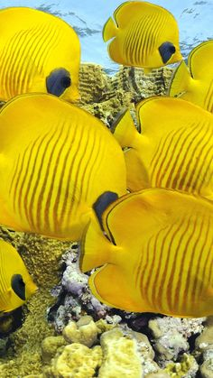 Butterflyfish, underwater, coral, Best Diving Sites