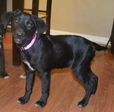 Our new foster baby is coming up to New England this weekend! Interested?  Babs is an adoptable Black Labrador mix. Babs is very sweet and shy. She follows direction really well and loves to be loved on.
